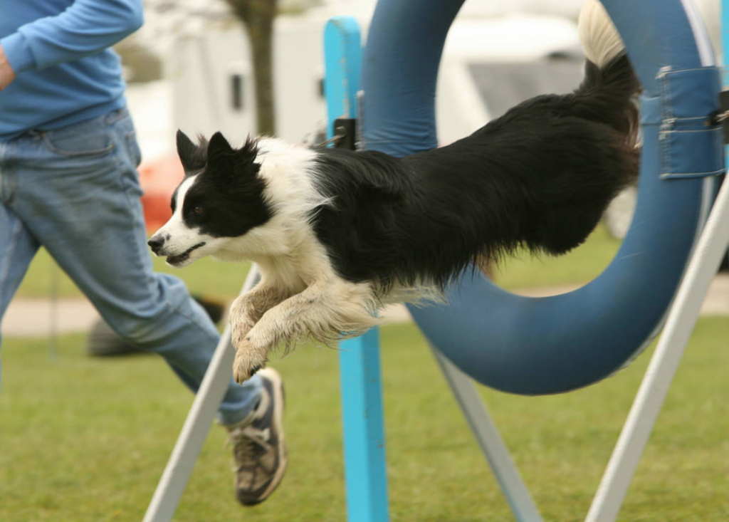 Black and white collie dog jumping through a hoop at the Burghley Horse Trials